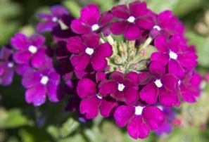 Verbena A Profile Of An Annual Flower Howstuffworks