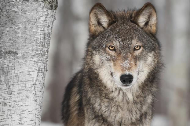 Do Dire Wolves Exist?
