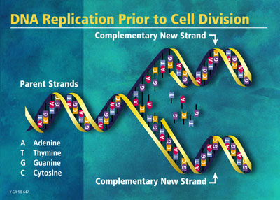 Dna Replication Howstuffworks