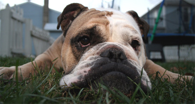 bulldog, dog