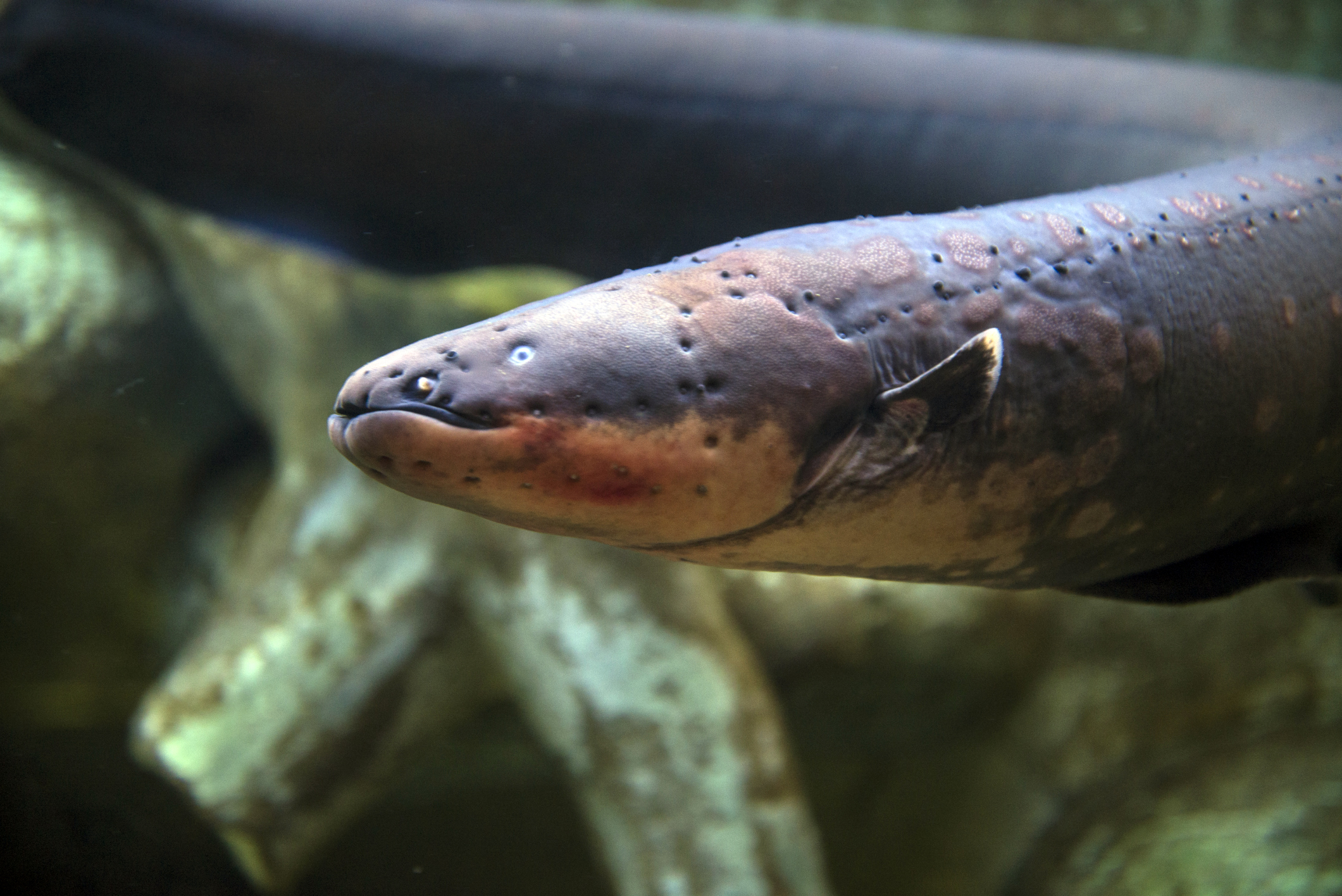Can electric eels kill you? | HowStuffWorks