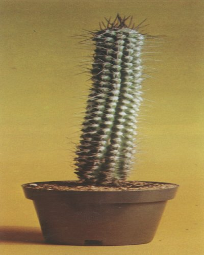 The eulychnia saint-pieana cactus, a tall columnar plant from Chile, features white, wooly tufts and edible fleshy fruit.