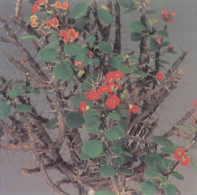 Admirable Euphorbia A Portrait Of A House Plant Howstuffworks Home Remodeling Inspirations Basidirectenergyitoicom
