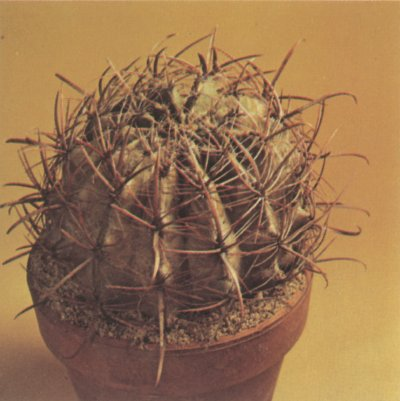 The ferocactus is a barrel-shaped cactus that features long, heavy, hooked spines and prominent ribs.