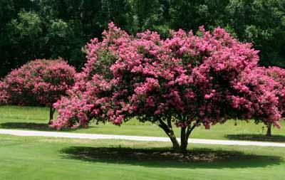 Flowering Trees Howstuffworks