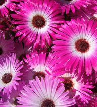 Picture of pink and white daisies, Livingstone daisy.