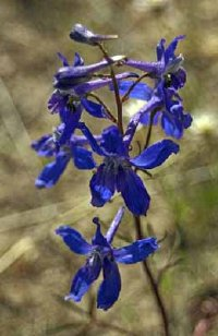 Picture of blue flower, larkspur.