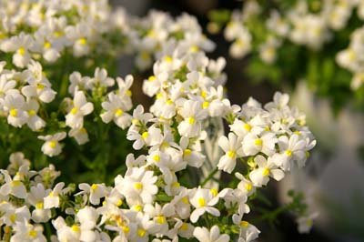 Picture of a cluster of white flowers, nemesias.