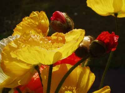 Picture of yellow poppies, Iceland poppy.