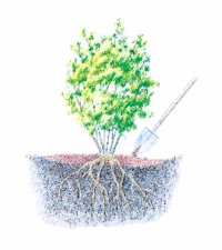 Add more soil or organic material to keep shrub or tree roots under cover.