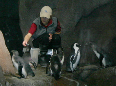 Pracownicy akwarium karmią afrykańskie pingwiny czarnogłowe.  Identyfikuje je kilka koralików wokół skrzydeł pingwinów.  Mężczyźni mają niebieski koralik najbliżej klatki piersiowej, a kobiety różowy.