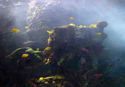 Duża rafa koralowa w galerii Tropical Diver.  Wiele z tego koralowca, specjalnie wyhodowanego u wybrzeży Fidżi, żyje.