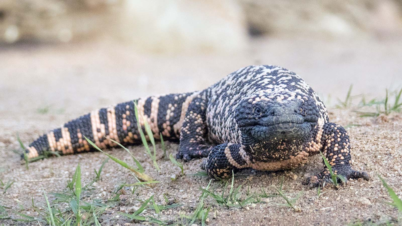 The Reclusive Gila Monster Packs a Venomous Punch