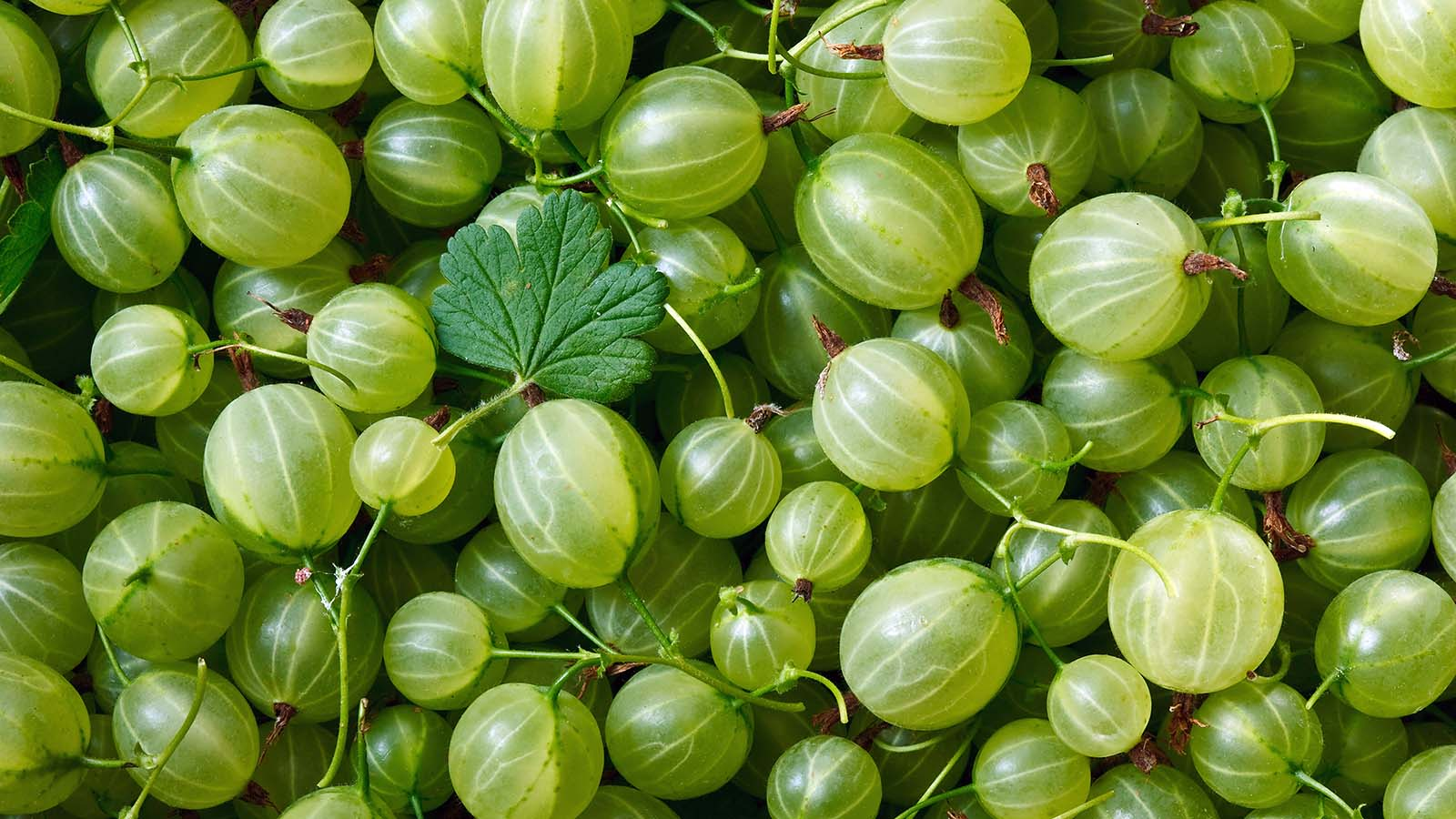 The Once-banned Gooseberry Has Made a Comeback in the U.S.
