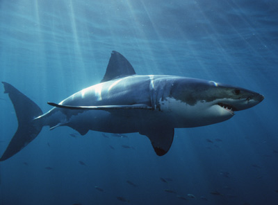 How Great White Sharks Work | HowStuffWorks