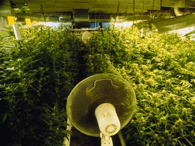 Setting Up a Grow House | HowStuffWorks on outdoor cannabis, home grow weed easy, organic grown cannabis, agent orange cannabis, growing cannabis, mutant cannabis, dried cannabis, led cannabis, say no to cannabis, drying cannabis, cheese cannabis, blue mystic cannabis, lsd cannabis, funny cannabis, indoor plants cannabis,
