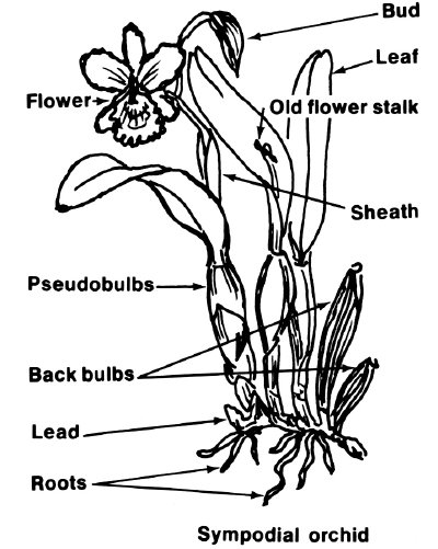 This drawing illustrates a variety of different parts found on an orchid plant.