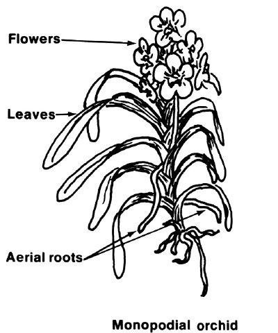 This helpful drawing illustrates an orchid's aerial roots, flowers, and leaves.