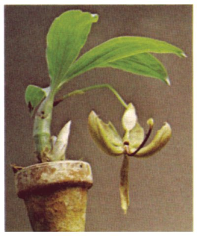 This cycnoches orchid resides in a clay pot, so may require more water than an orchid planted in another medium