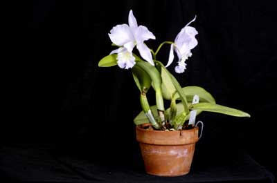 Fertilizing orchids should be done carefully, as many need little or no fertilizer to stay healthy.