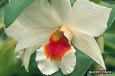 This fire coral dendrobium orchid is a rich example of the results you can achive when you start growing orchids.
