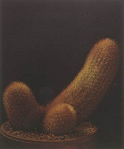 The haageocereus chrysacranthus, a columnar cactus from Peru, features numerous ribs and fine needlelike spines.