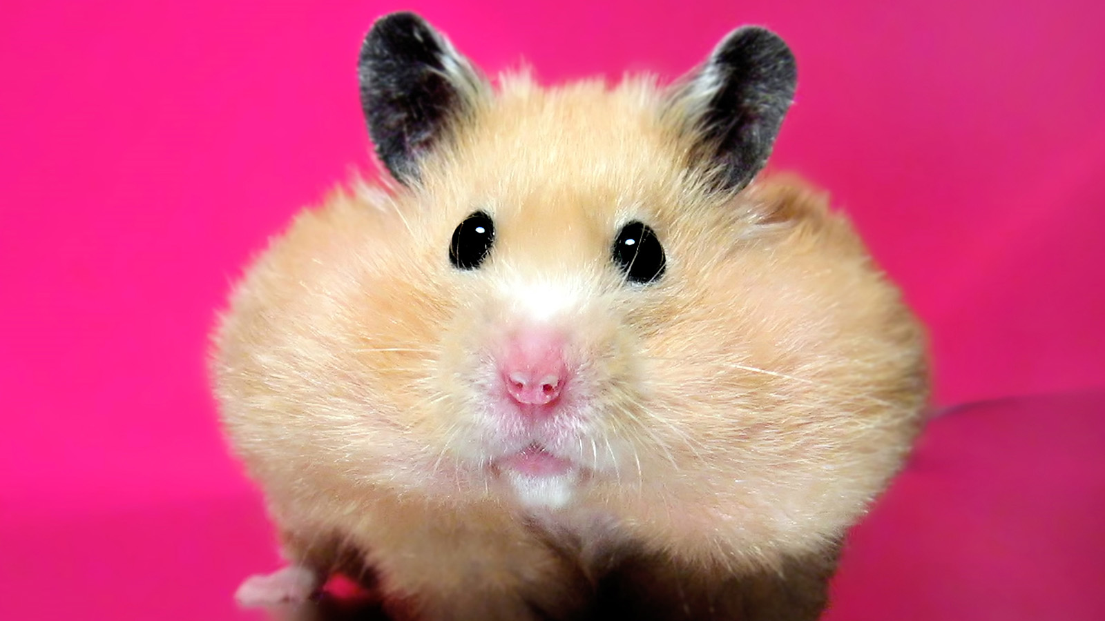 Hamsters Aren't Jerks. Here's How to Stop Them From Biting