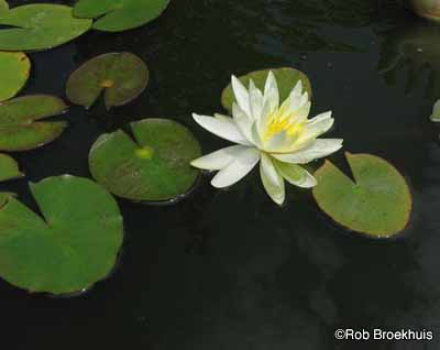 Hardy Water Lily A Profile Of Plant Howstuffworks