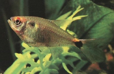 Head And Tail Light Tetra Howstuffworks