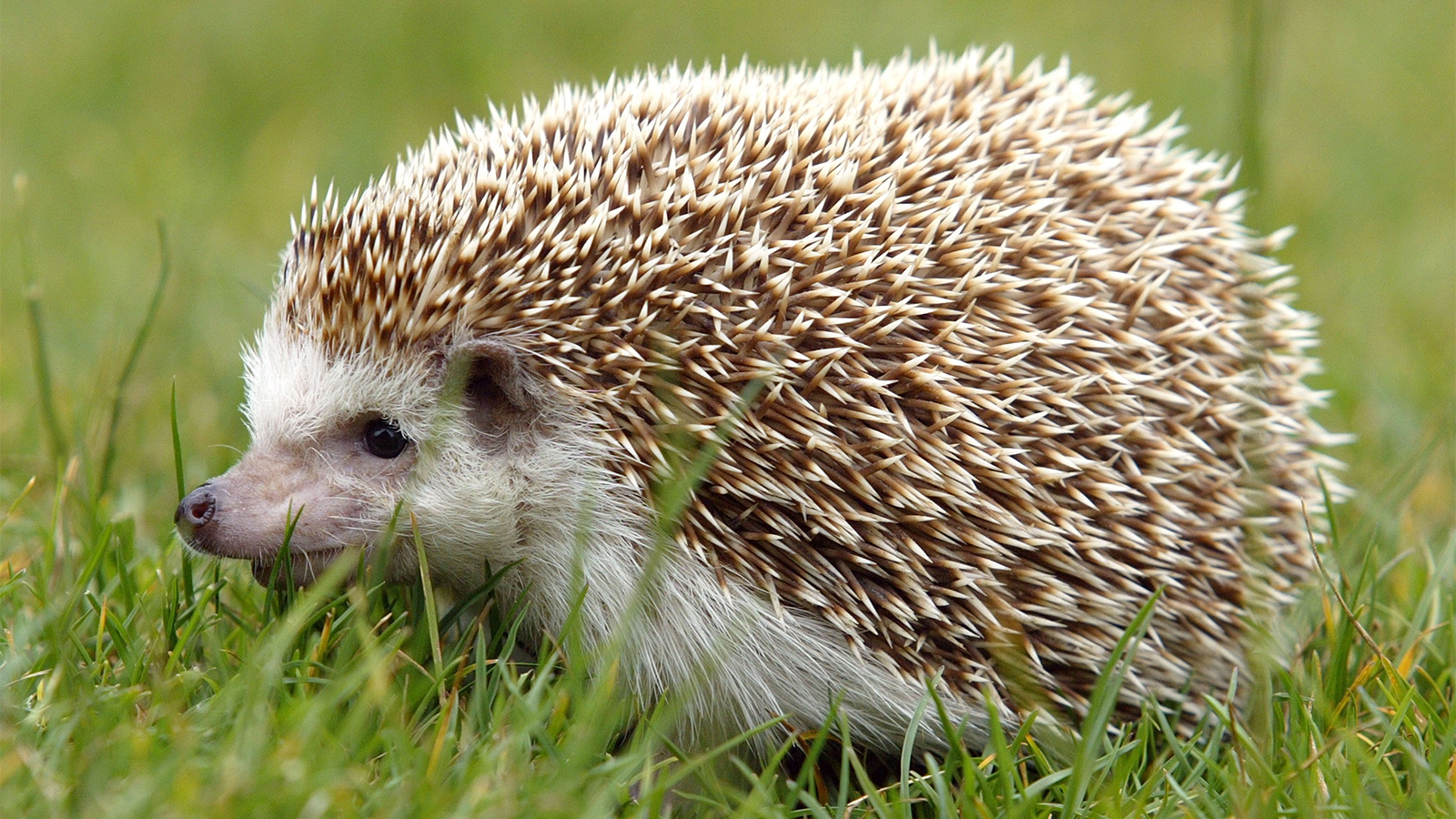 Hedgehogs Adorable But Do They Make Good Pets Howstuffworks