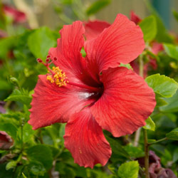 3 Hibiscus Top 10 Perennials For The Midwest Howstuffworks