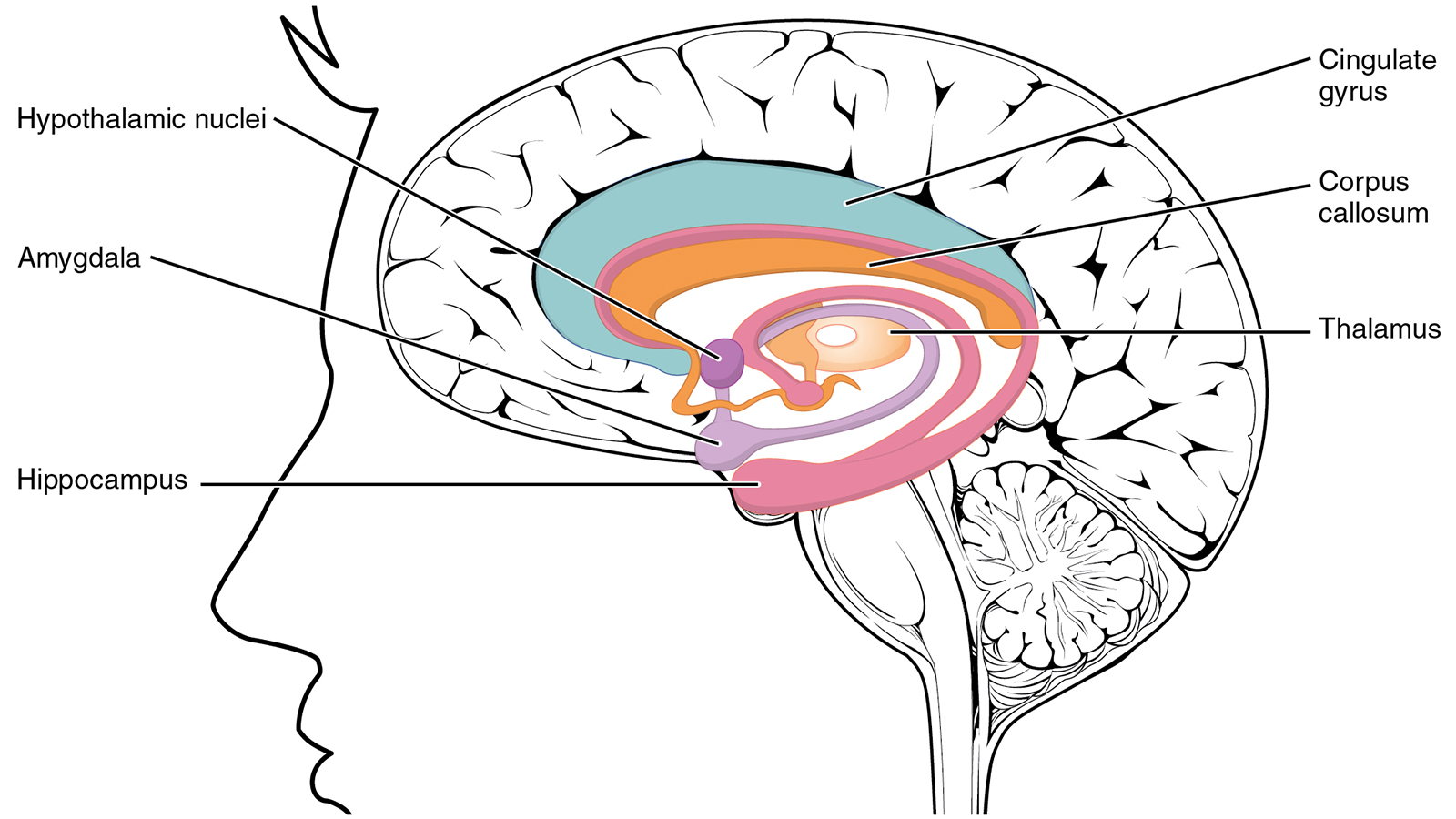 Without a Hippocampus, Your Long-term Memory Is History