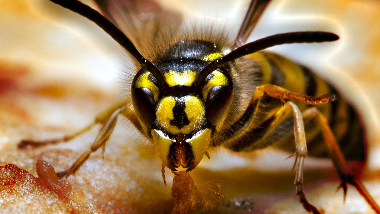 What's the Difference Between a Hornet and a Wasp?