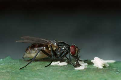 housefly laying eggs