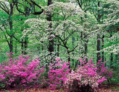 A flowering tree provides a colorful canopy for your yard.