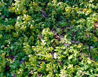 A healthy ground cover should establish a strong root system.