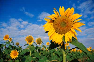 Wild sunflowers, though not as showy as these hybrids, are beautiful in meadows and gardens.