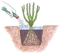 Fill the depression surrounding the plant with water.