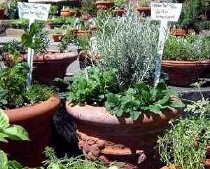 When growing an herb garden, plant herbs that need light soil in pots.