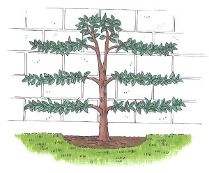 Use the espalier technique to give a formal look to a garden.