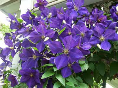 Decorative vines, such as this purple clematis, can be trained to climb fences and trellises.