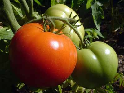 Many tomatoes are specifically bred to resist disease.