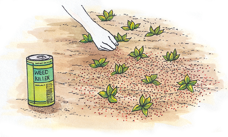 Scatter granules of a pre-emergent chemical on soil to prevent weed seeds from sprouting.