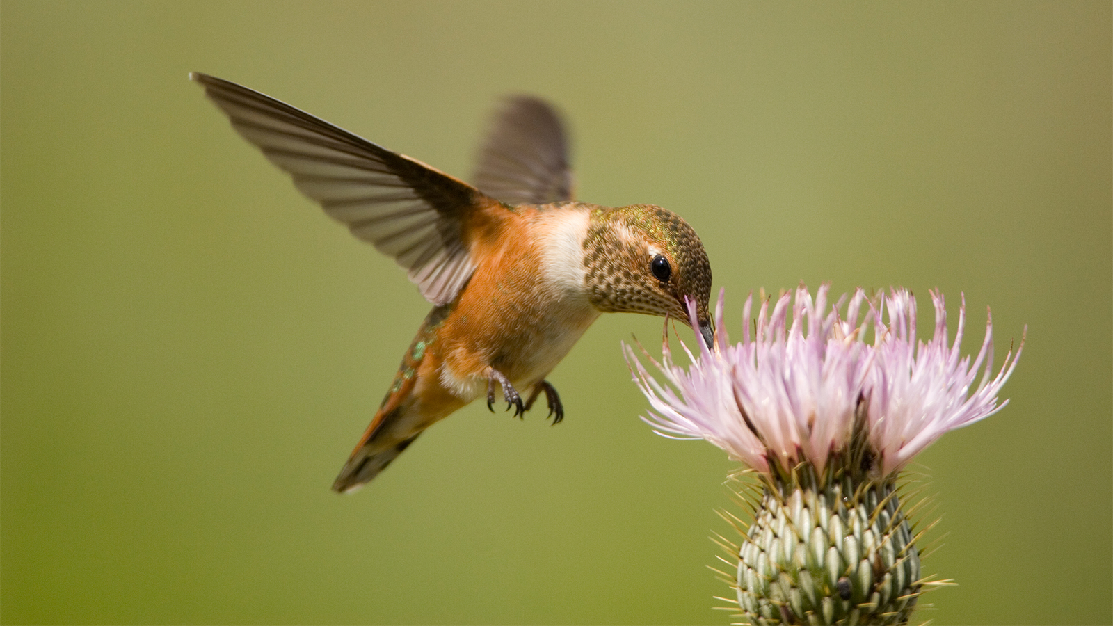 Hummingbirds What To Feed Them And A Springtime Q A Howstuffworks