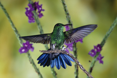 Do hummingbirds have sex in midair? | HowStuffWorks