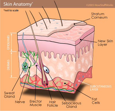 a cutaway diagram of a section of skin shows where sweat is produced in  glands which