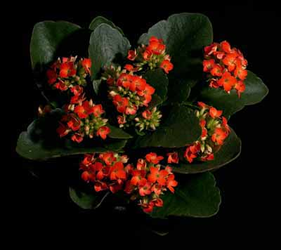 The kalanchoe blossfeldiana cactus has clusters of red-orange flowers that appear in winter or whenever there are short days.