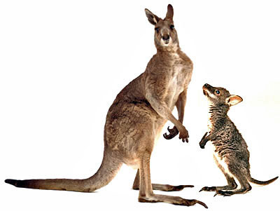 What S The Difference Between A Wallaby And A Kangaroo Howstuffworks
