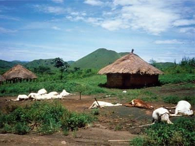 Dead cattle surround compounds in Nyos village Sept. 3, 1986, almost two weeks after the lake's explosion.