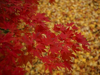 Why Do Leaves Change Color And Turn Red Howstuffworks